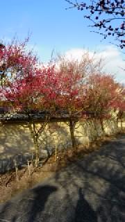 梅は咲いたぞ
